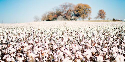 Tekstil sektörünün ihtiyacını karşılamak için yoğun pamuk ithalatı gerçekleştiren Türkiye, yerli pamuk üretimini güçlendirmek için de önemli adımlar atıyor.