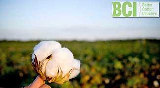 Better Cotton hand holding cotton